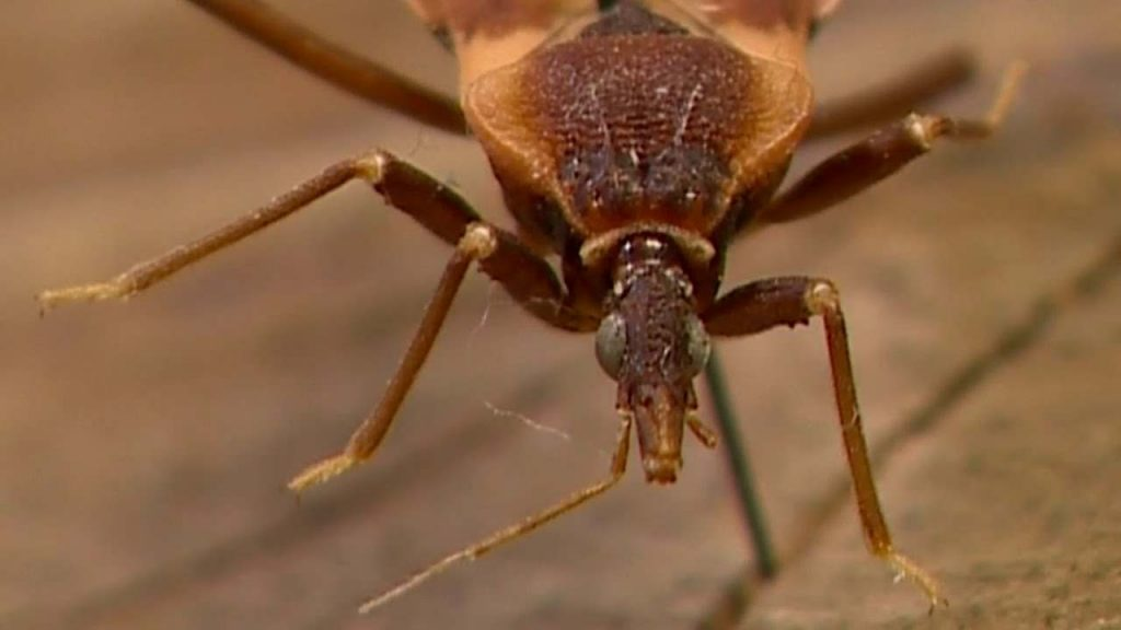 Kissing Bugs Images