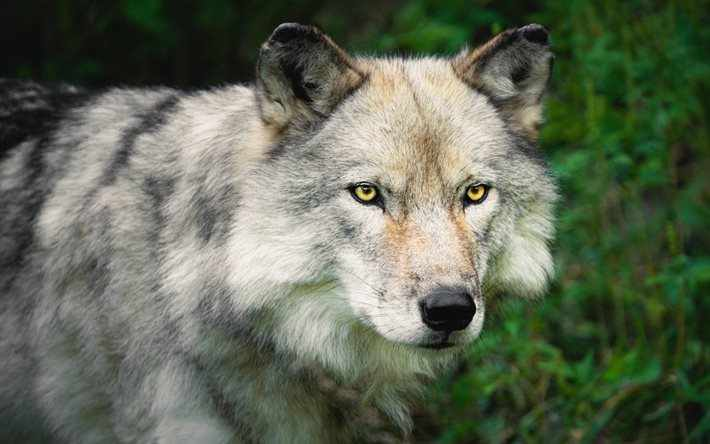 Wolves Images